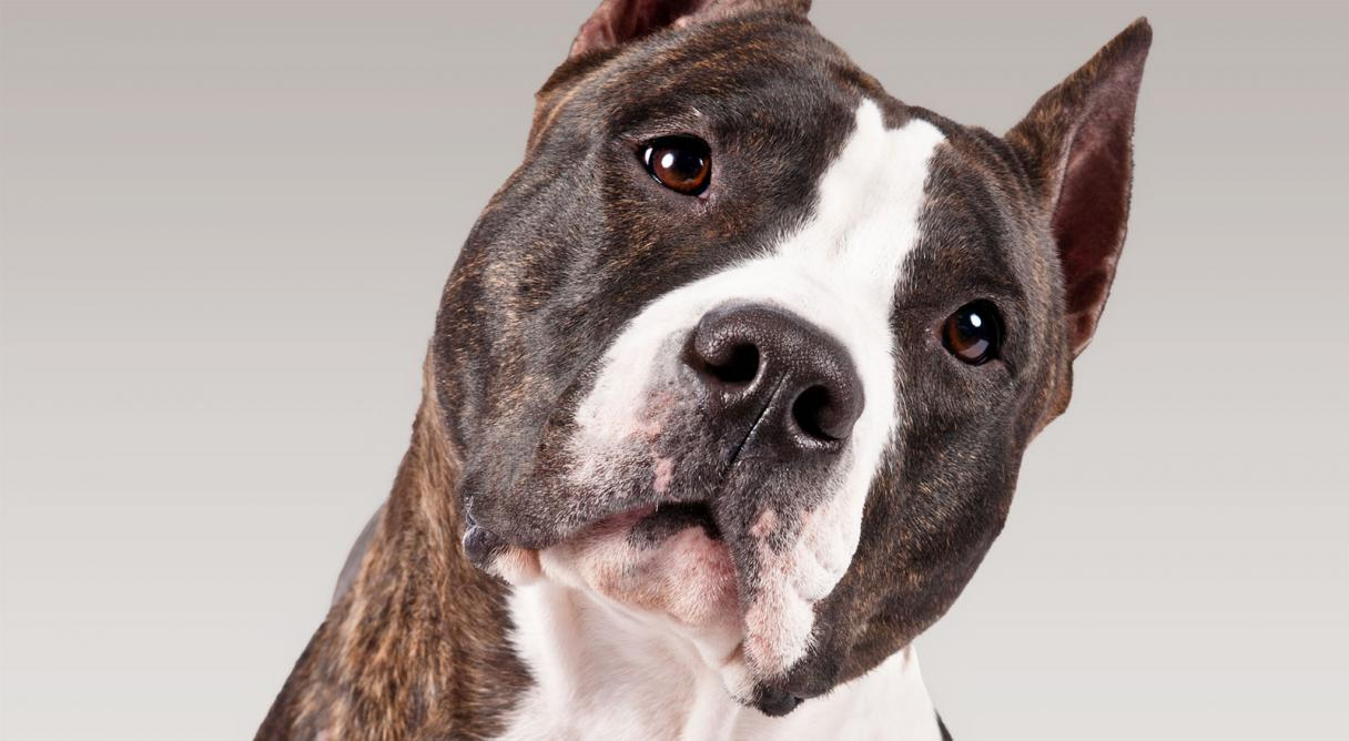 American Staffordshire Terrier Only Dogs