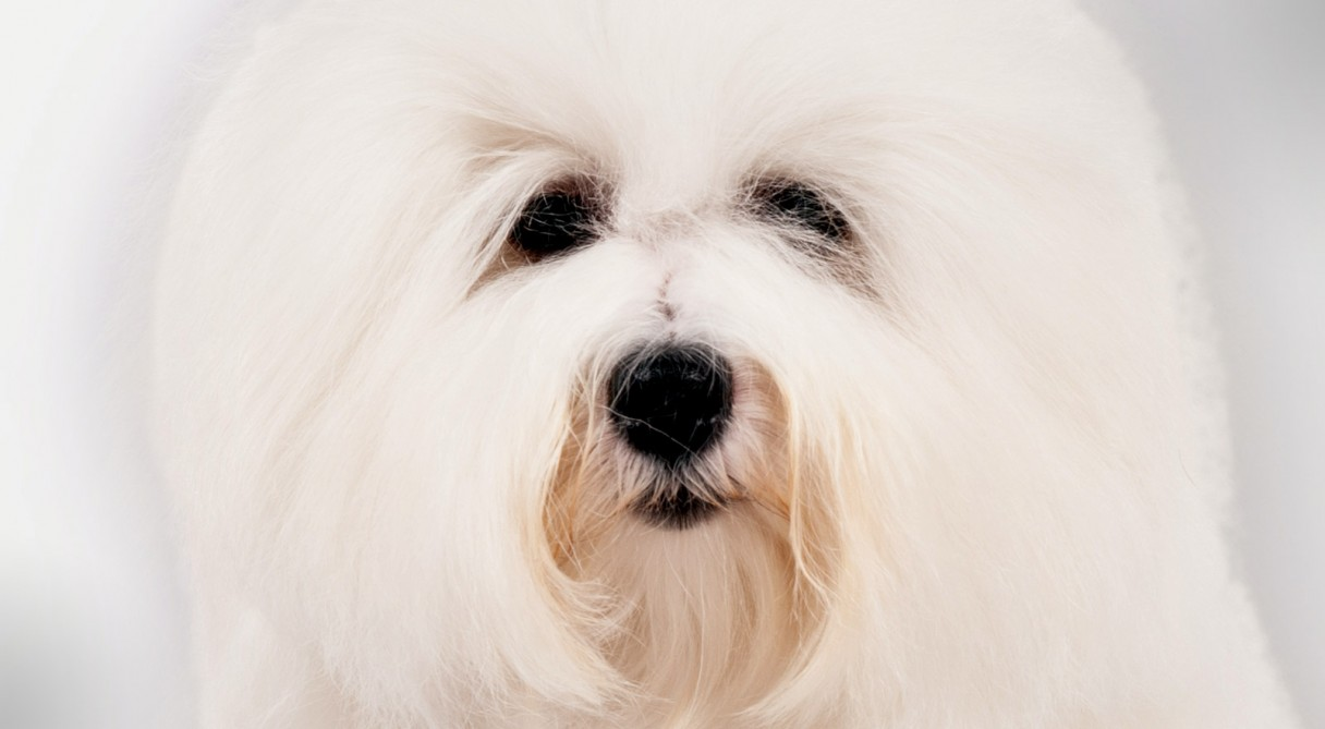 Coton De Tulear Only Dogs