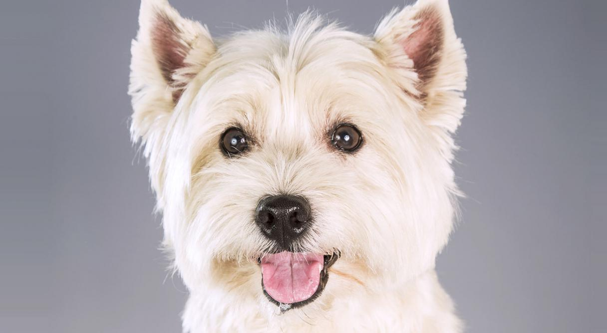 west highland white terrier only dogs