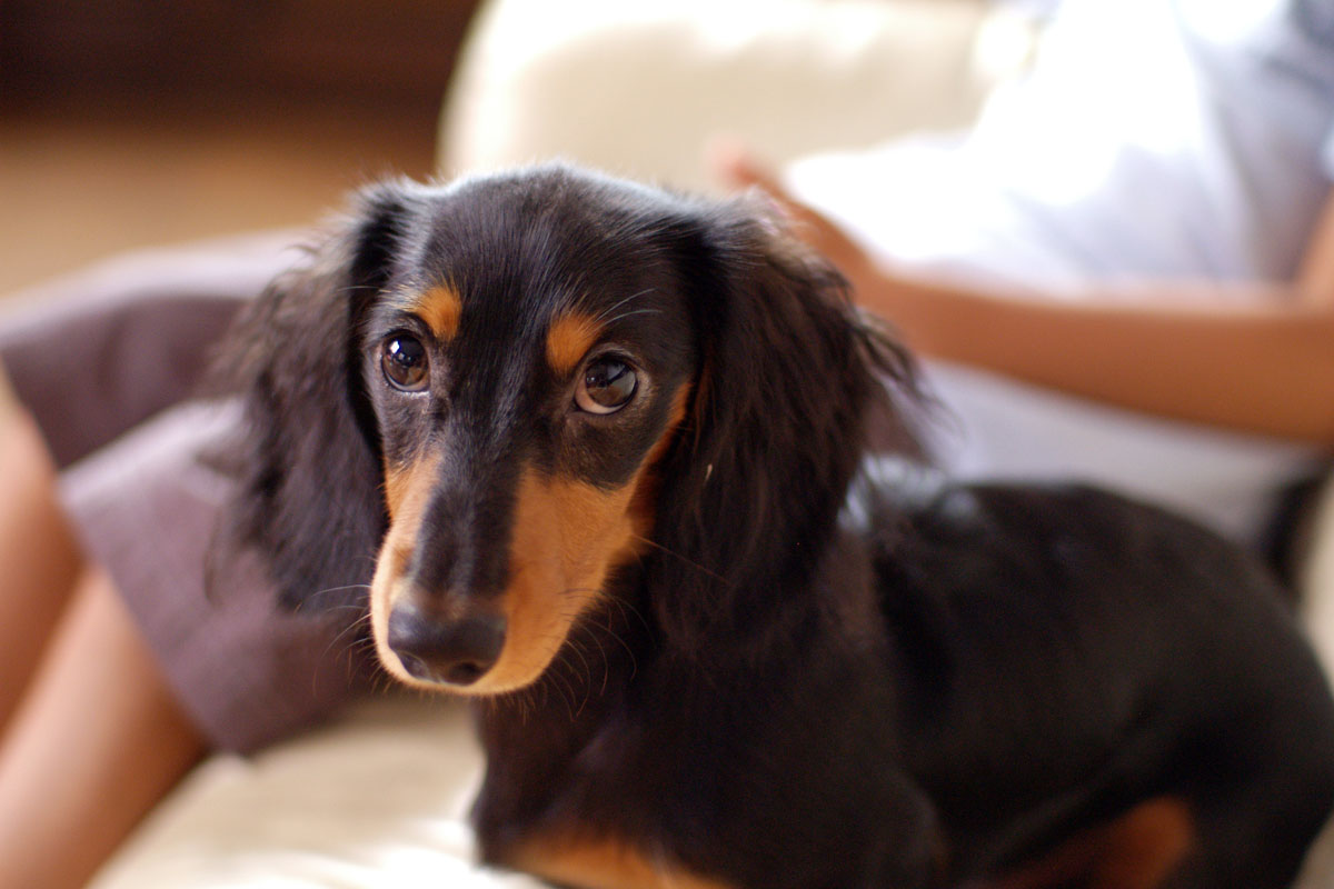 Dachshund Long Hair Miniature – Only Dogs 3c20dcc52e0a