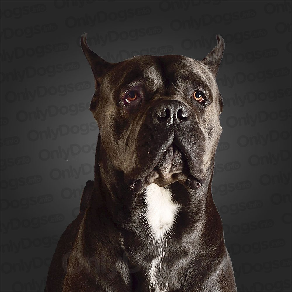 Cane Corso Only Dogs