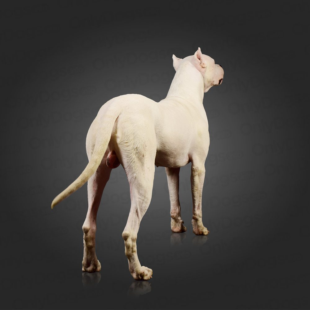 Dogo Argentino – Only Dogs