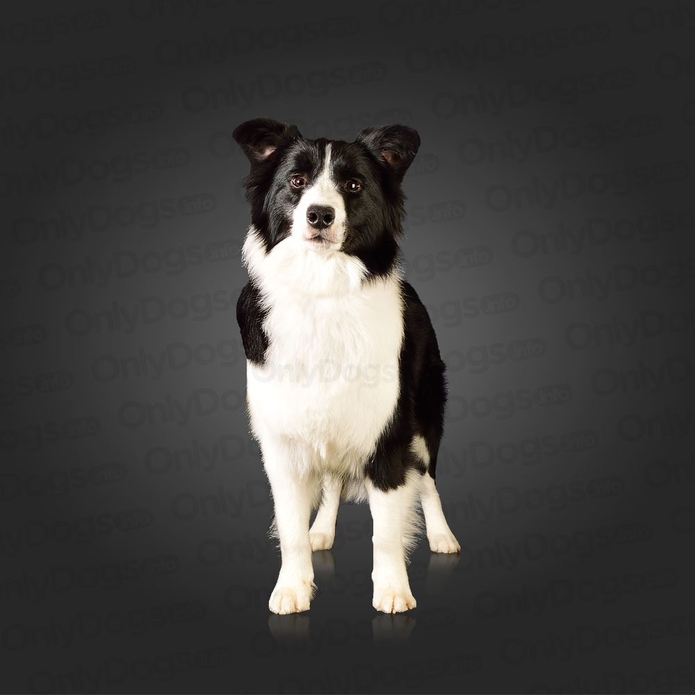 Border Collie – Only Dogs