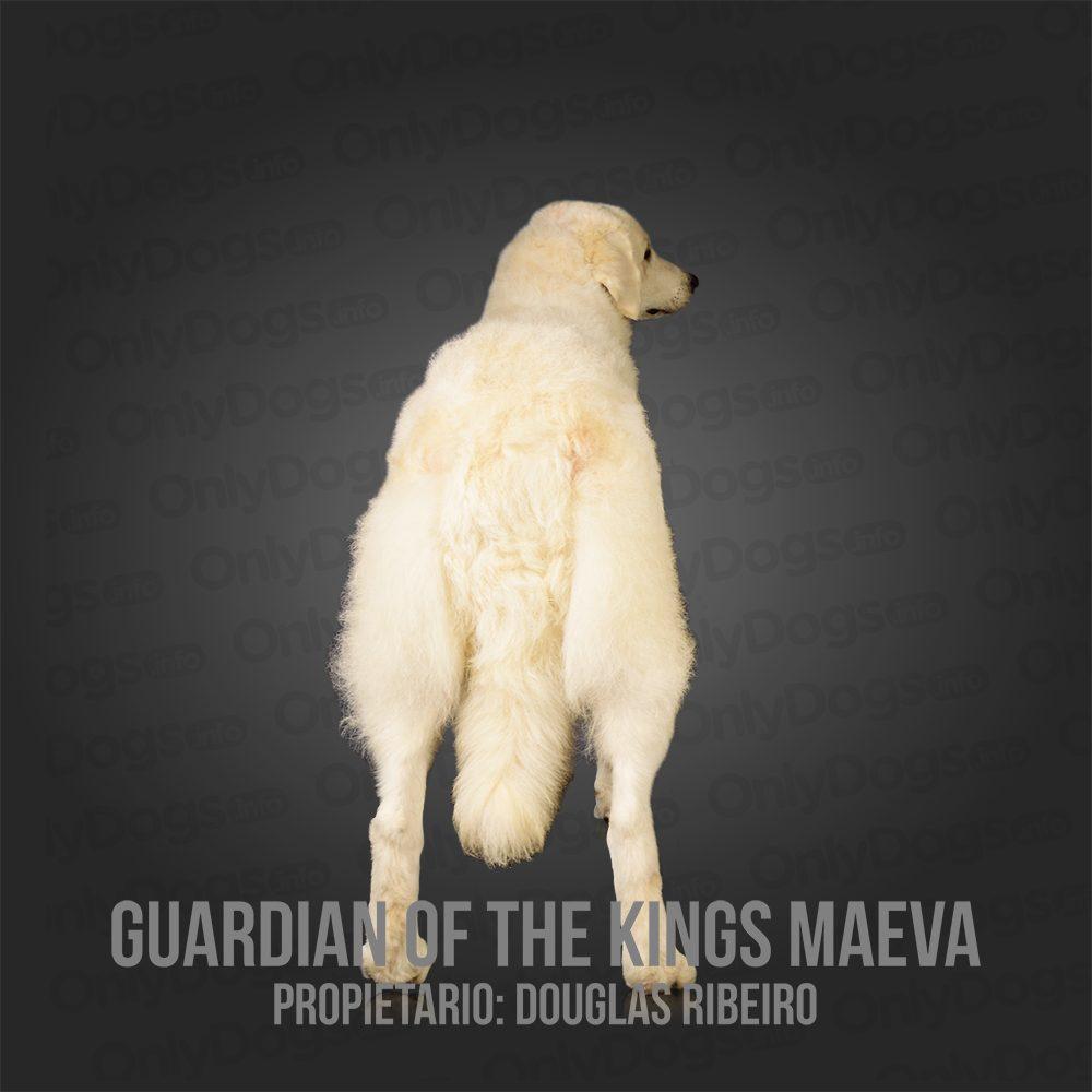 Kuvasz – Only Dogs