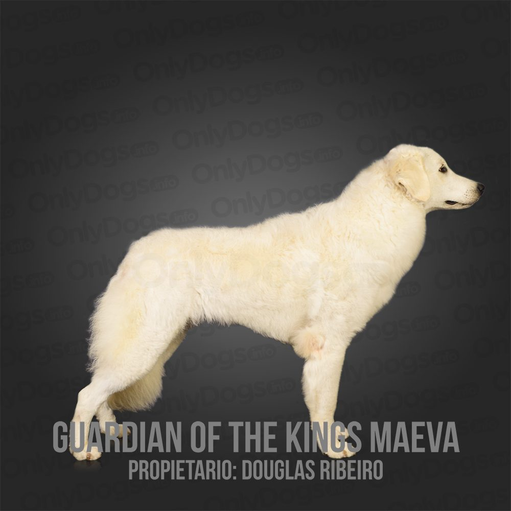 Kuvasz – Only Dogs